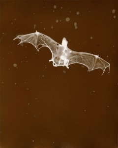 "Bat, 2009, Edition of 12, 18.4"" x 23"", P.O.P. photogram ©Christopher Colville"
